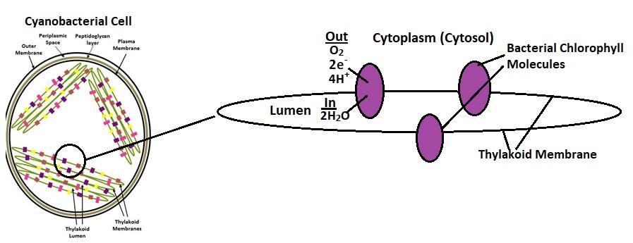 Cyanobacteria Thylokoids